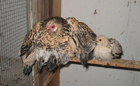 Roosting Hen Covering Chicks